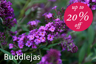 20% Discount On Buddlejas