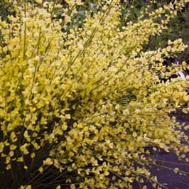 buy cytisus praecox allgold broom at scentedshrubs com scented rh scentedshrubs com