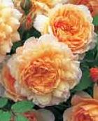 Scented Roses